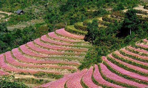 Tuyệt mỹ bức tranh cánh đồng hoa tam giác mạch ở Hà giang