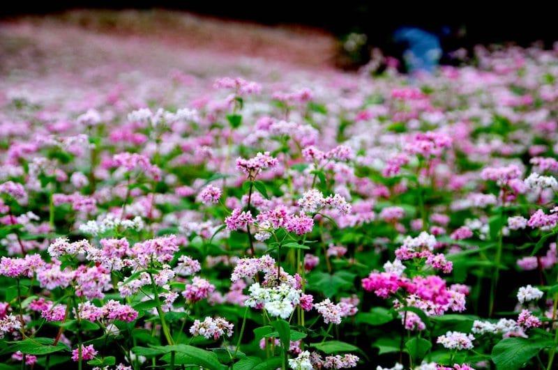 Đẹp mê hồn cánh đồng hoa tam giác mạch