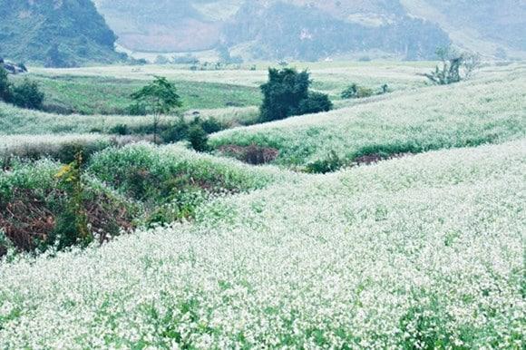 Hoa Cải trắng rừng