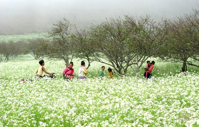 Mộc Châu tháng 11 khoác lên mình vẻ đẹp tinh khôi của mùa hoa cải trắng