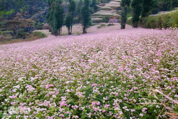 Thơ mộng bức tranh hoa tam giác mạch ở Lũng Cú