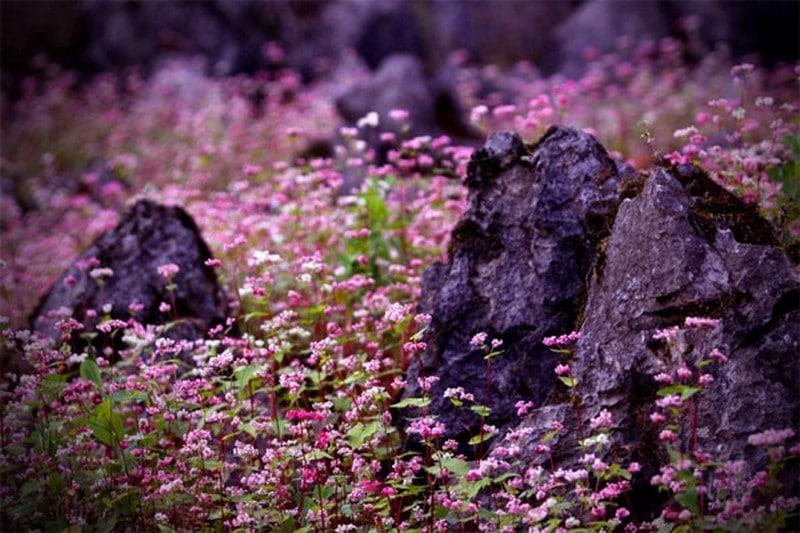 Vẻ đẹp huyền bí ở Lũng Táo mùa hoa tam giác mạchVẻ đẹp huyền bí ở Lũng Táo mùa hoa tam giác mạch