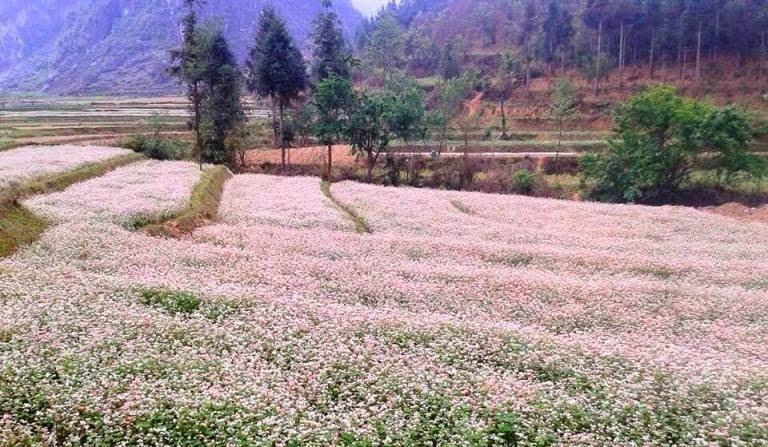 Chiêm ngưỡng sắc hoa tam giác mạch ở thị trấn phó Bảng