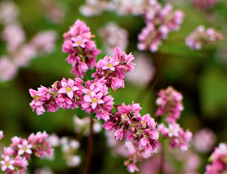Vẻ đẹp ngọt ngào mê hoặc lòng người của hoa tam giác mạch