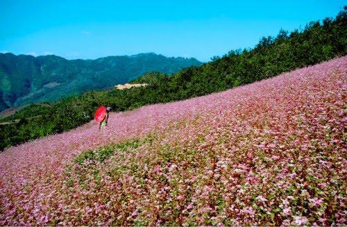 Vẻ đẹp hoa tam giác mạch ở thung lũng Sủng Là