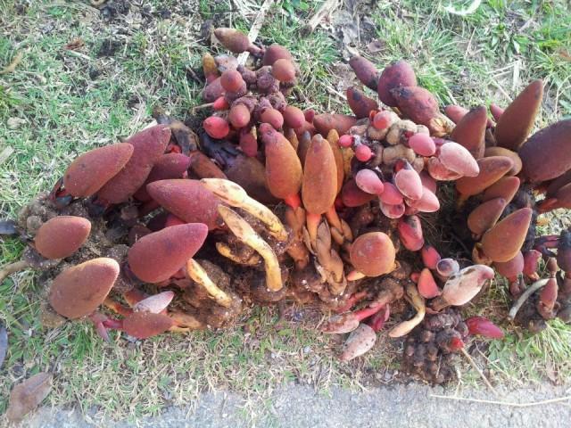 Vào tháng 11 trở đi khi đến Hà Giang, du khách có thể dễ dàng bắt gặp hình ảnh người dân bày bán nấm ngọc cẩn bên đường