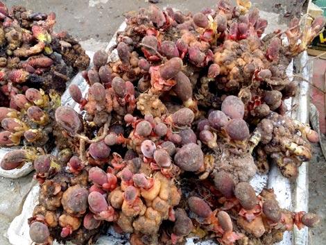 Du lịch Hà Giang mua nấm ngọc cẩu về làm quà