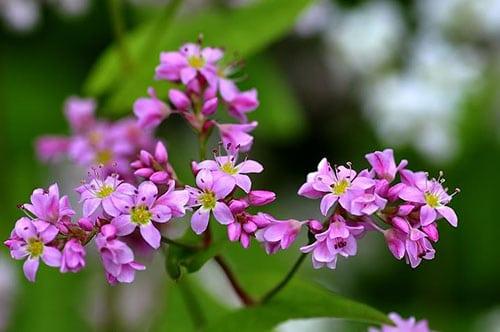 Sắc tím hồng rực rỡ kiêu hãnh đầy sức sống của hoa tam giác mạch