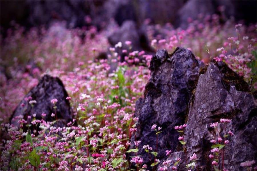 Mùa hoa tam giác mạch nở rộ trên cao nguyên Hà Giang