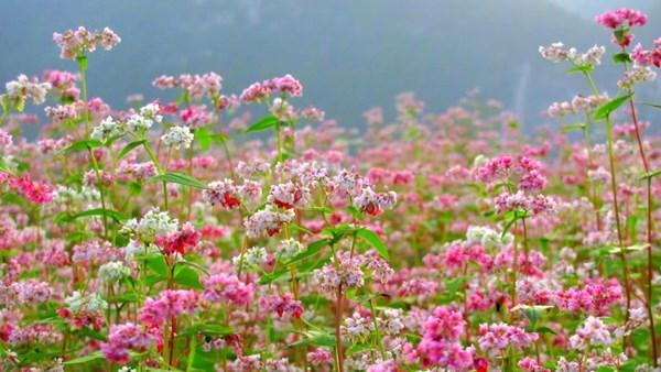 Mùa hoa tam giác nở rộ
