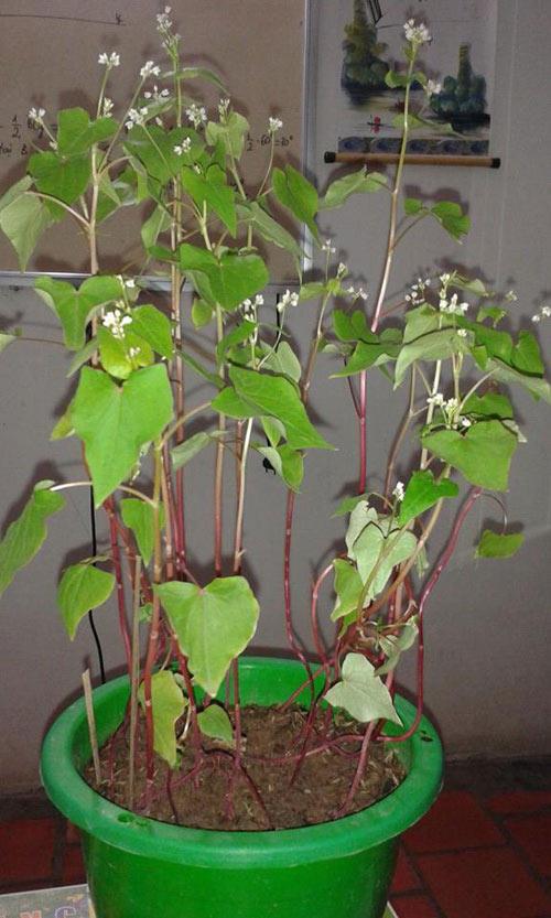 Những chậu hoa tam giác mạch phát triển trong nhà
