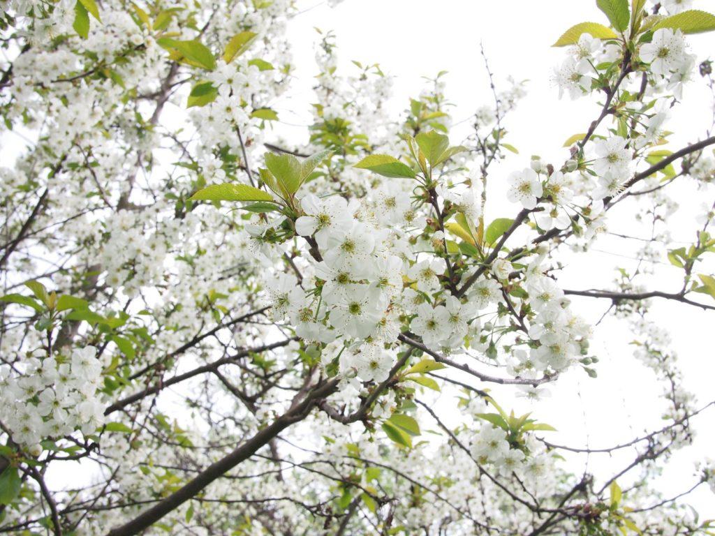 Sắc trắng tinh khôi phủ trắng núi đồi Mộc Châu mỗi dịp Tết đến