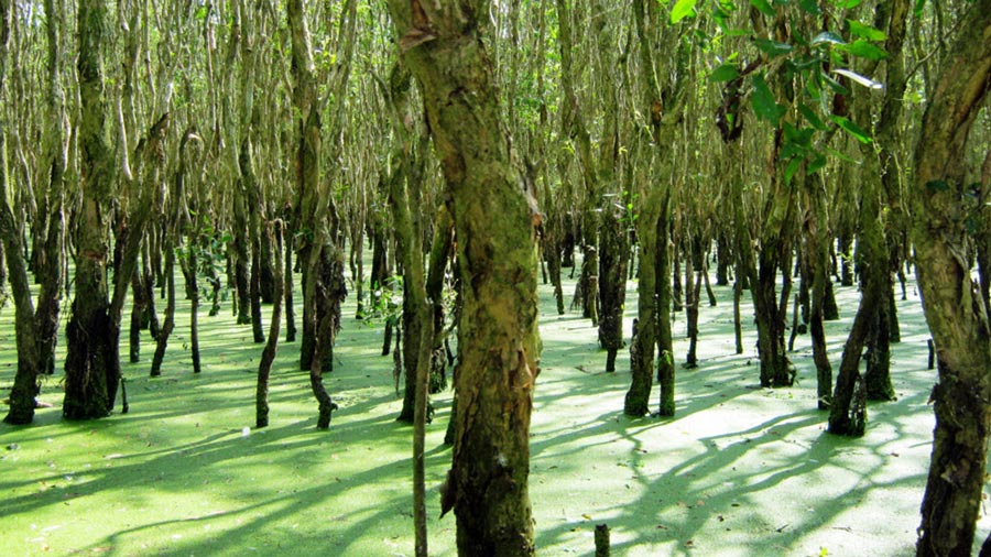 Rừng Trâm đã trải qua hàng trăm tuổi vẫn xanh tốt, căng tràn nhựa sống