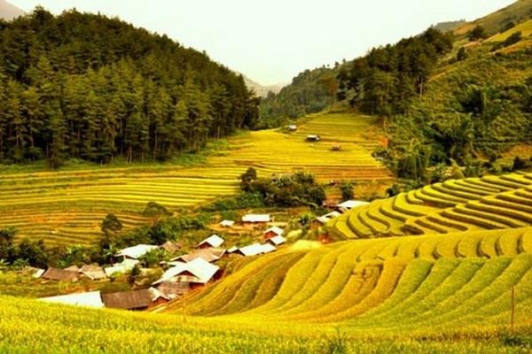 Cánh đồng lúa chín vàng óng ở Mù Cang Chải