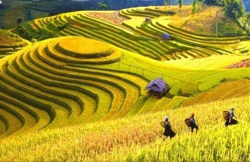 Du lịch Tây Bắc vào tháng 10 để ngắm những thửa ruộng vàng rực rỡ