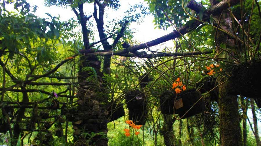 Vườn lan rừng trên núi Hàm Rồng