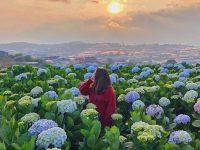 Hoa cẩm tủ cầu mang vẻ đẹp kiêu sa