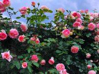 Hồng cổ Sapa - Vẻ đẹp say đắm lòng người