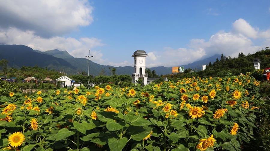 Vườn hoa hướng dương kiêu hãnh vươn mình về phía mặt trời