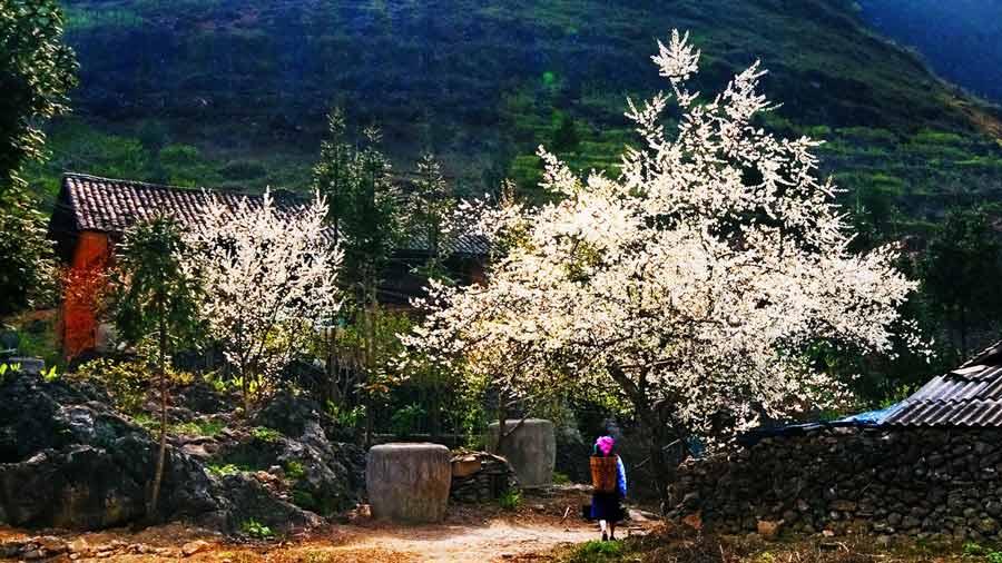 Vẻ đẹp tinh khôi của hoa mận Sapa