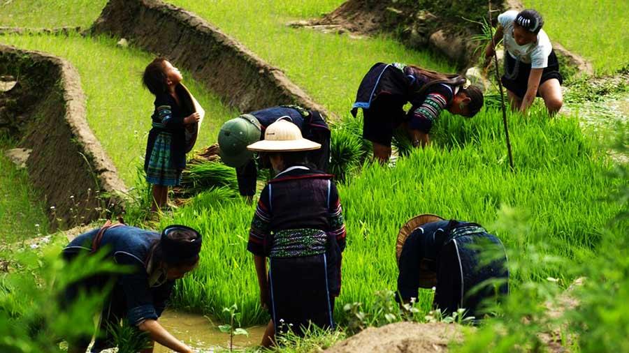 Tham gia cấy lúa cùng người dân bản địa