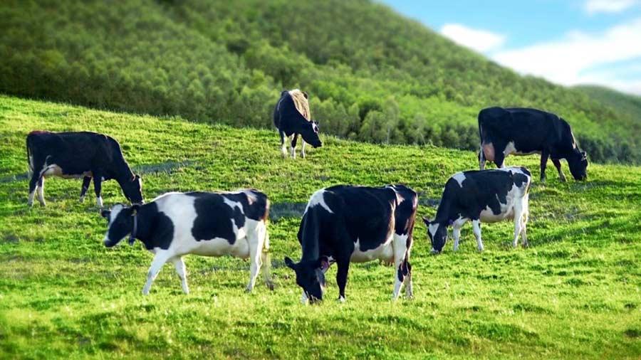 Những chú bò sữa Mộc Châu khỏe mạnh, an toàn