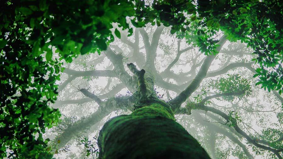 Tán cây cổ thụ bao bọc cả một khoảng trời