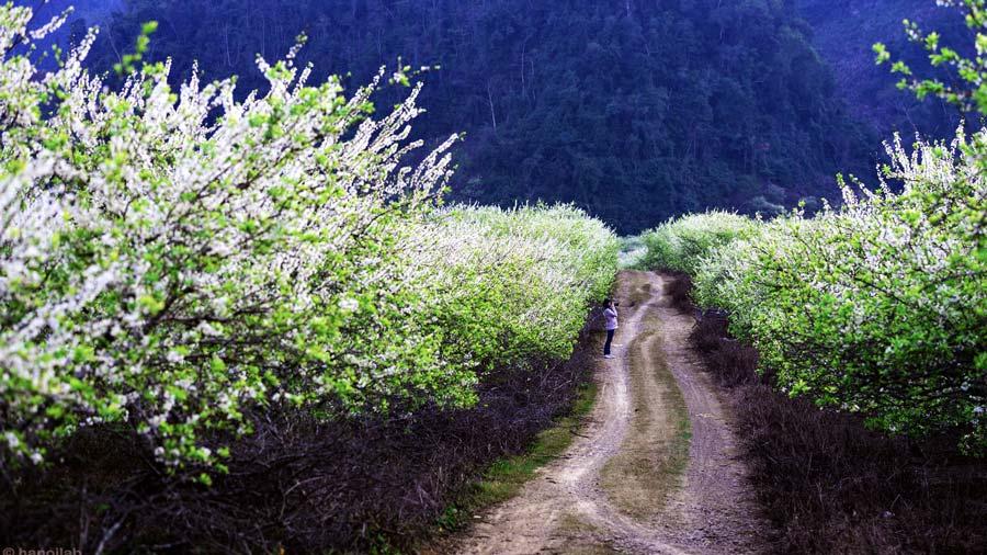 Hoa mận Mộc Châu nở trắng rừng