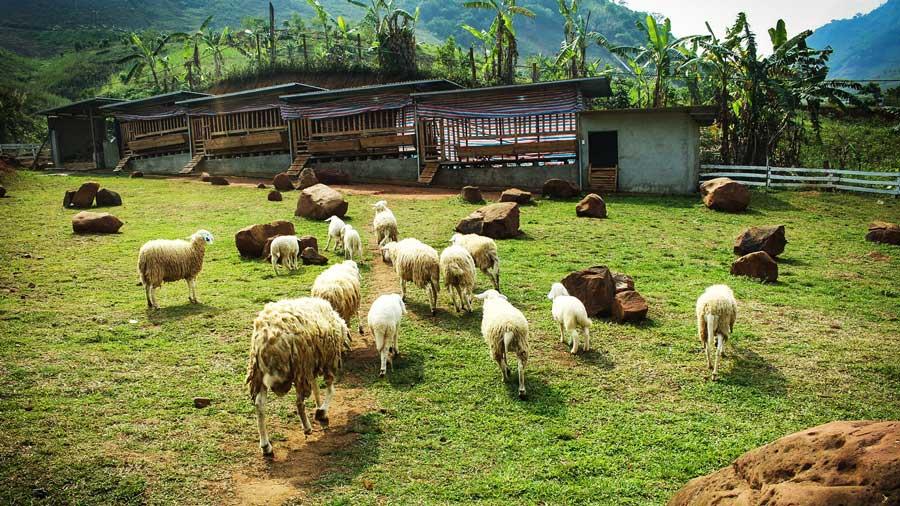 Trang trại cừu với những chú cừu đáng yêu