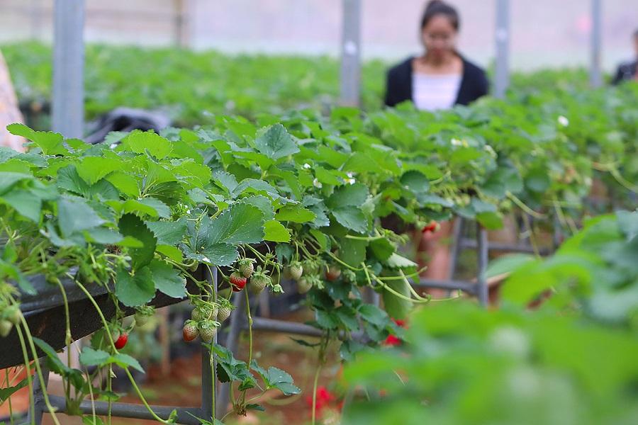 Vườn dâu tây khi vào mùa