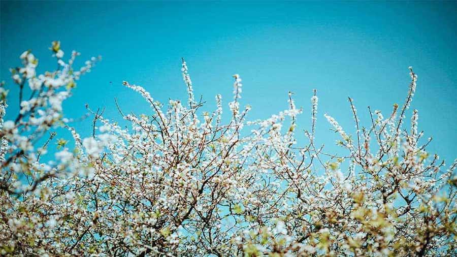 Hoa mận Mộc Châu bừng sáng dưới nắng
