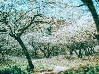 Hoa mận nở trắng đồi núi Mộc Châu