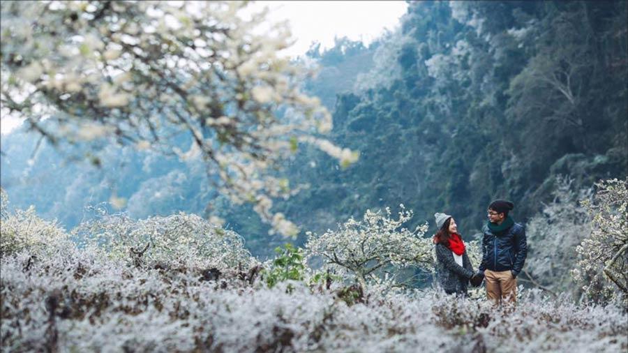 Rừng thông bản Áng mùa hoa mận
