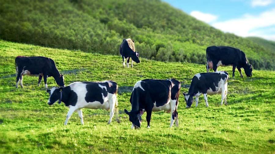 Ghé thăm trại bò sữa gần Bơ House