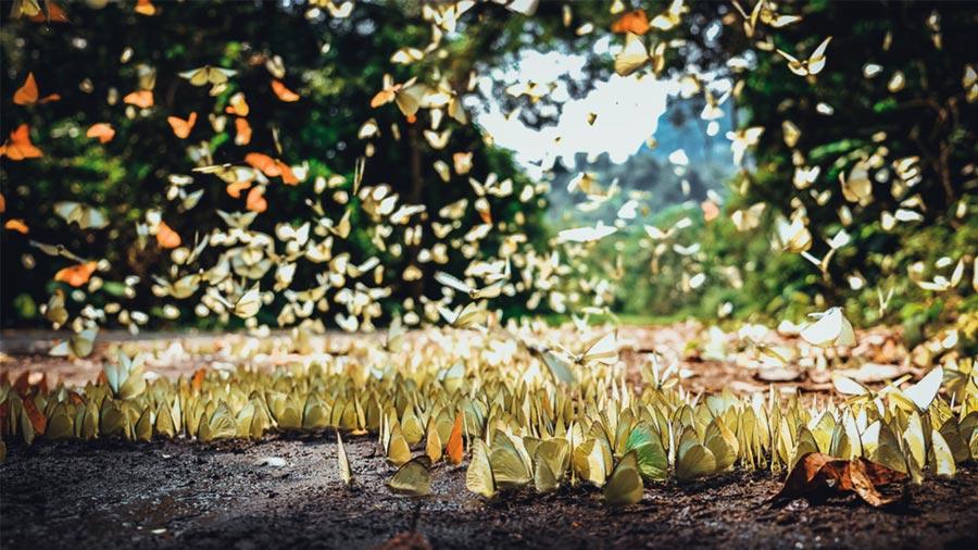 Mùa bướm tuyệt đẹp tại Vườn Quốc gia Cúc Phương