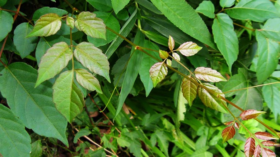 Chè dây Sapa được rất nhiều người yêu thích bởi tác dụng tốt cho sức khoẻ của loại thảo dược này