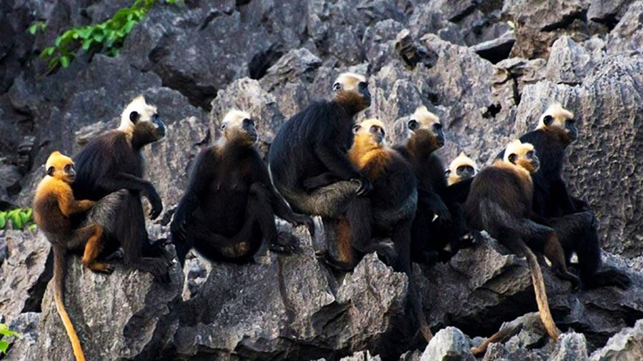 Voọc Cát Bà là loài động vật quý hiếm bậc nhất cần được giữ gìn, bảo tồn và phát triển