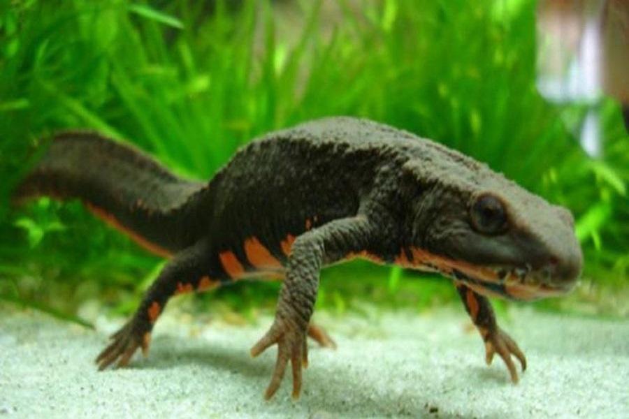 Cá cóc - loài đặc hữu chỉ có tại Việt Nam