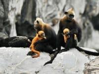 Voọc Cát Bà nằm trong Sách Đỏ Thế Giới - Loài động vật quý hiếm cần bảo tồn