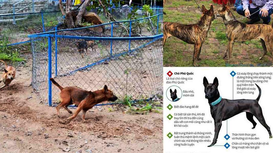 """Chó Phú Quốc trong lịch sử được coi là """"Vương khuyển"""""""