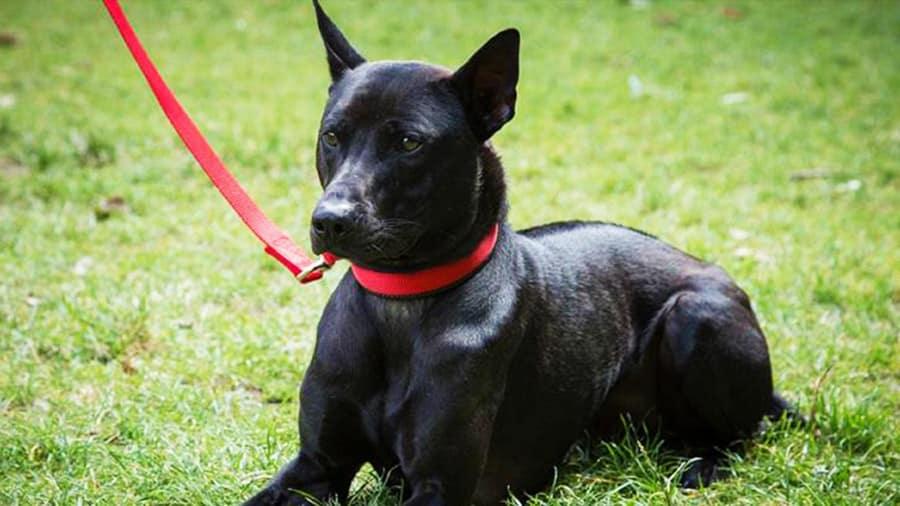 Chó Phú Quốc có thân hình chắc khoẻ