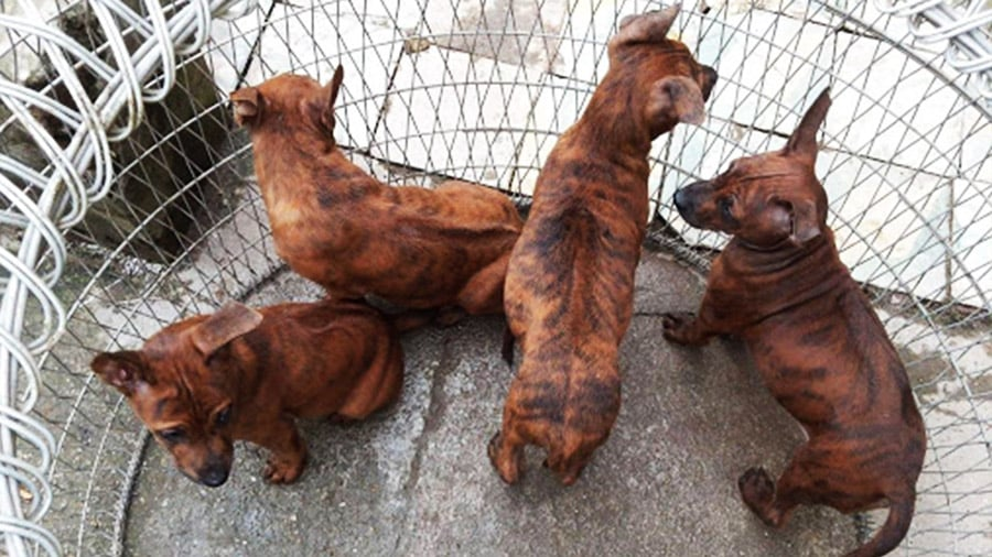 Giá chó Phú Quốc phụ thuộc vào rất nhiều yếu tố