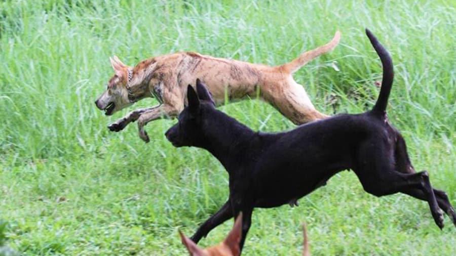 Chó Phú Quốc dũng mãnh, tinh ranh