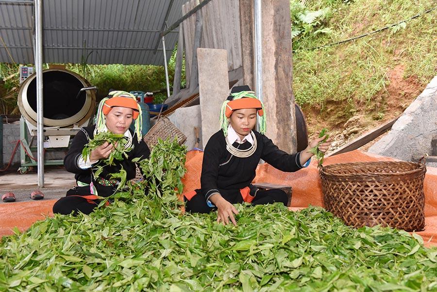 Chè Shan Tuyết Hà Giang được chế biến công phu, tỉ mỉ