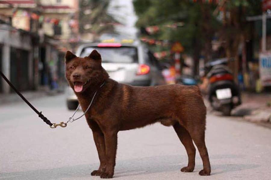 """Chó cộc đuôi Hà Giang – """"thần giữ của"""" nơi cao nguyên đá"""