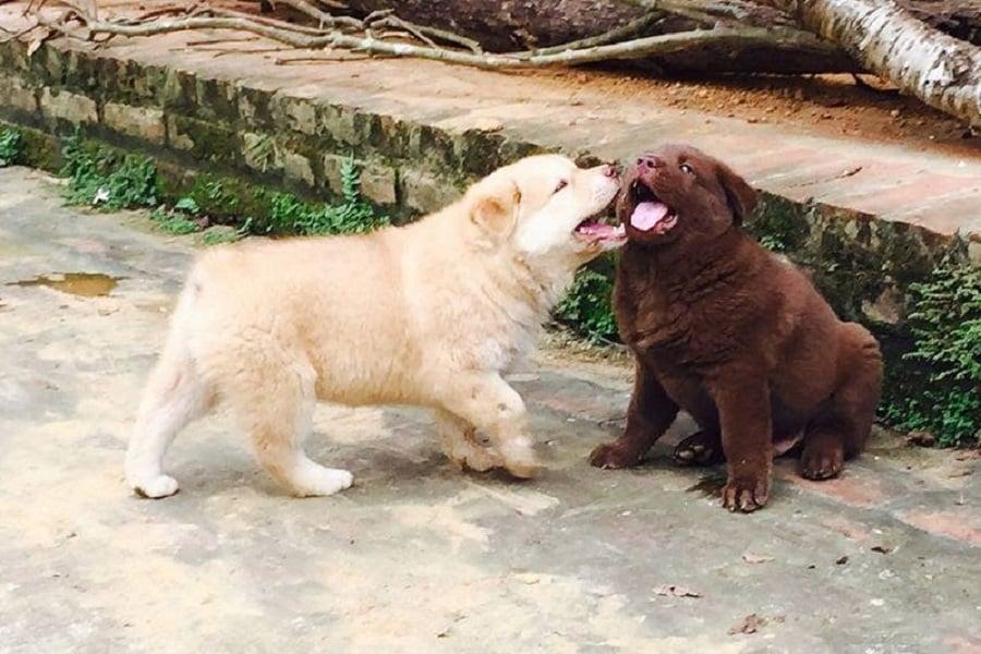 Chó Mông cộc đuôi lúc nhỏ
