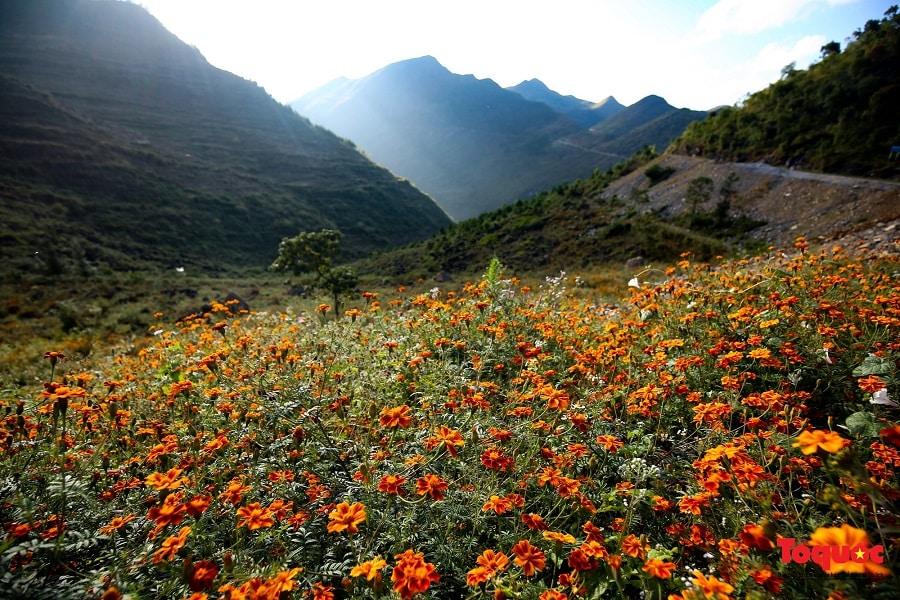 Những cánh đồng hoa cúc cam