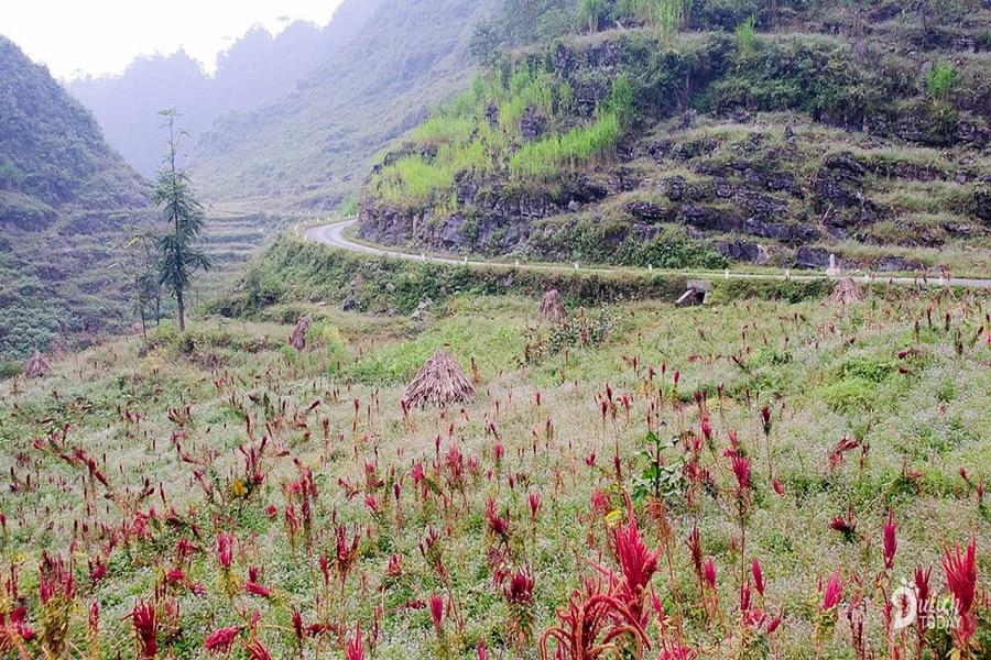Hoa dền tía đỏ phủ kín ven đường
