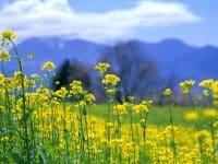 Hoa cải vàng - loài hoa được coi là tượng trưng cho vẻ đẹp của vùng cao nguyên đá