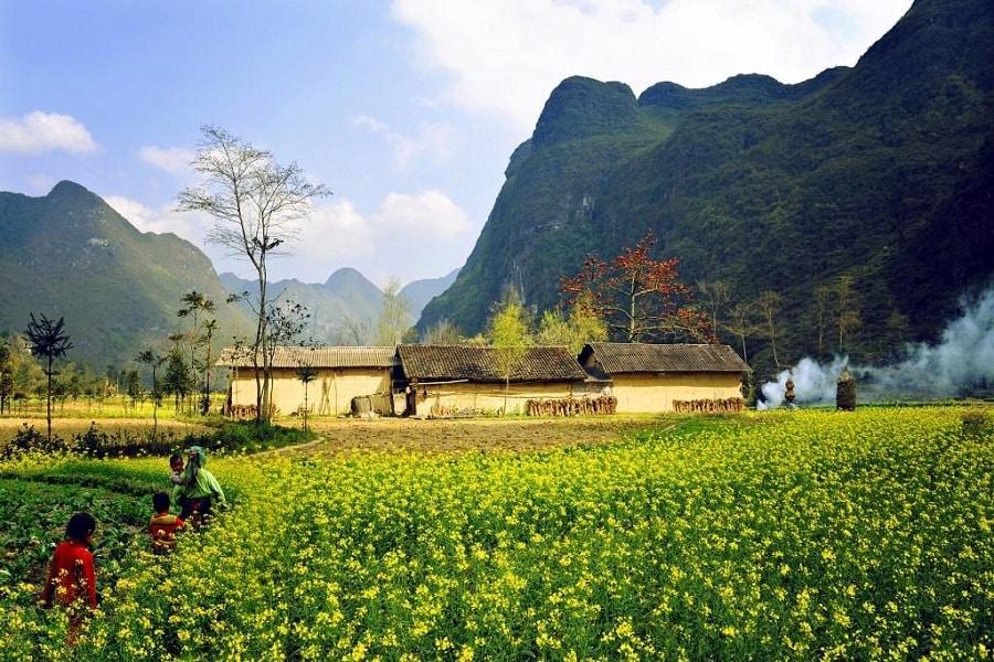 Những cánh đồng hoa cải vàng